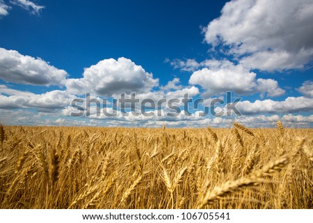 Gold field of wheat against blue sky - stock photo