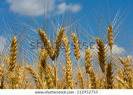 Gold field of wheat against blue sky. Ukraine.