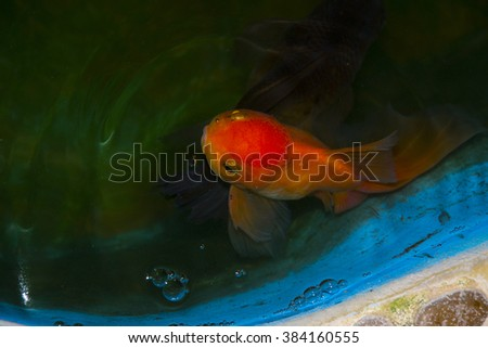gold fish - stock photo