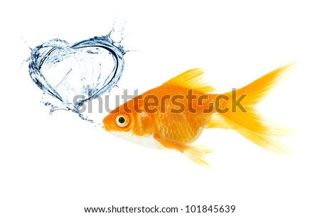 Gold fish. heart made from splash - stock photo