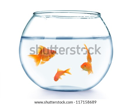 Gold fish in aquarium on a white background - stock photo