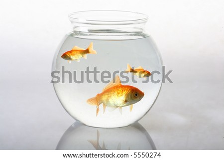 Gold fish in bowl - stock photo