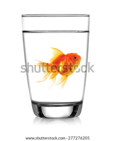 Gold fish in Glass of water on white background - stock photo