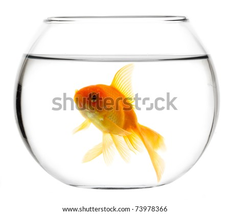 Gold fish isolated on a white - stock photo