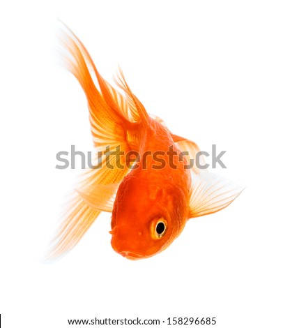 Gold fish isolated on a white background. - stock photo