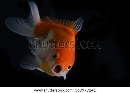 gold fish isolated on black background - stock photo
