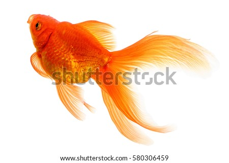 Golden fish stock images royalty free images vectors for Golden fish pipe