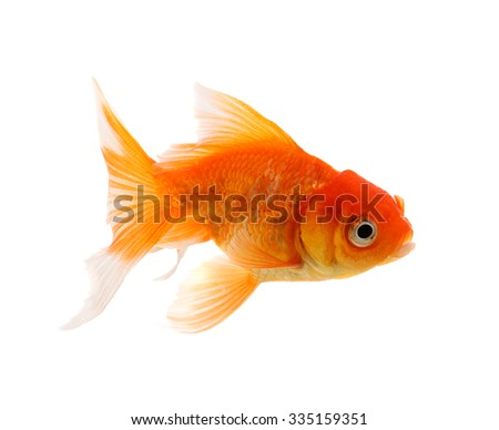 Gold fish. Isolation on the white background