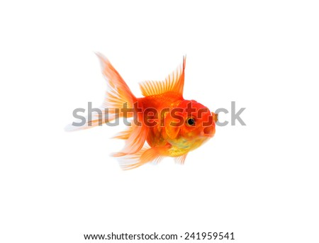 Gold fish on a white background - stock photo