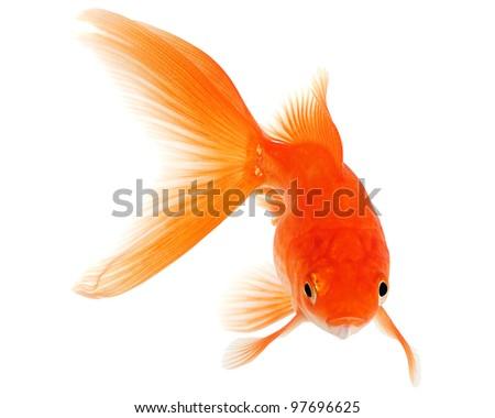 Gold Fish on White Background - stock photo