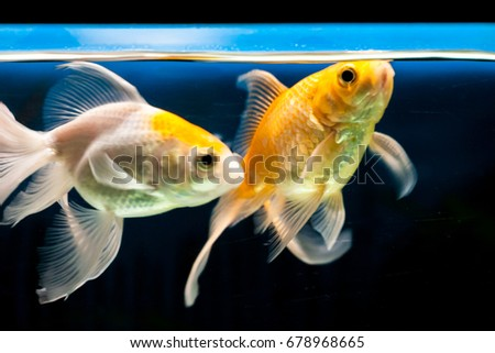 Gold fish with beautiful tail and fins in Aquarium tank
