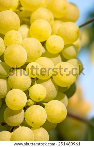 Gold Grapes on the Vine Gold Riesling grapes hang from the vine and blue sky - stock photo