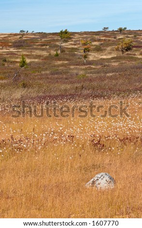 Gold grass. Dolly Sods, Monongahela National Forest, West Virginia, USA - stock photo