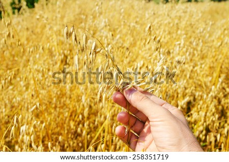 gold harvest in hand over field