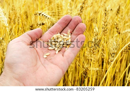 gold harvest in hand over field - stock photo