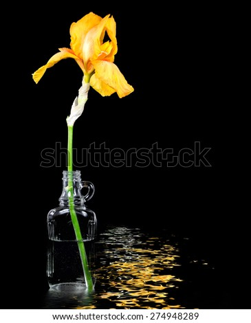 gold iris in vintage glass bottle with water reflection on black - stock photo