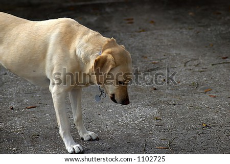 Gold labrador looking  at something on the ground. - stock photo