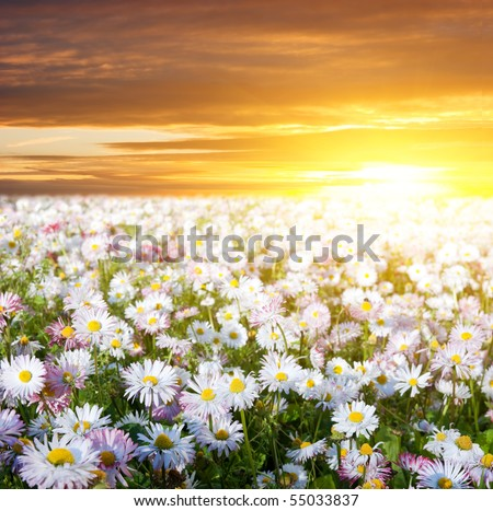Gold meadow of camomiles in summer sun rays - stock photo
