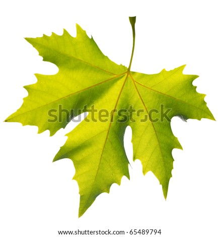 Gold one maple leaf isolated on white fone - stock photo