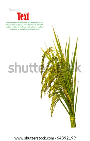 Gold paddy rice on white background - stock photo