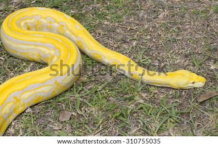 Gold Python,Reticulated python (Python reticulatus) - stock photo