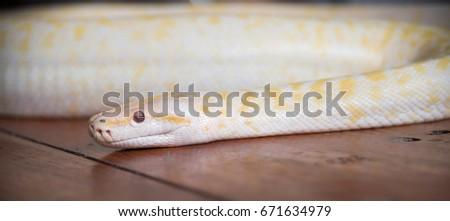 Gold Python Snake On Wooden Floor