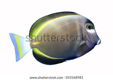 Gold Rim Tang( (Acanthurus sp.) isolated on white background) - stock photo