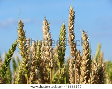 Gold wheat before harvest in july