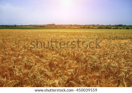 Gold wheat field and blue sky.  A fresh crop of rye. The idea of a rich harvest concept. Rural landscape under shining sunlight. for the design.  - stock photo