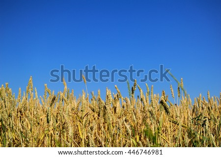 Gold wheat field and blue sky in summer day - stock photo