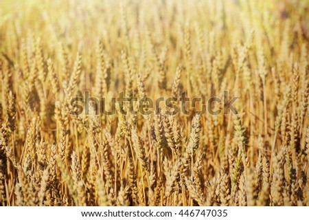 Gold wheat field  in summer day background - stock photo