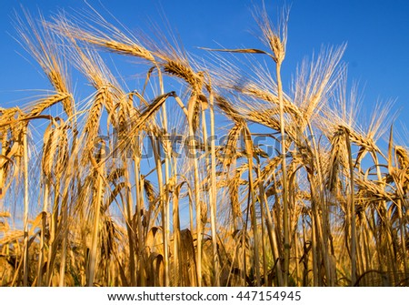 Gold wheat filed with blue sky background