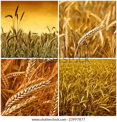 Gold wheat harvest collection background 01 - stock photo