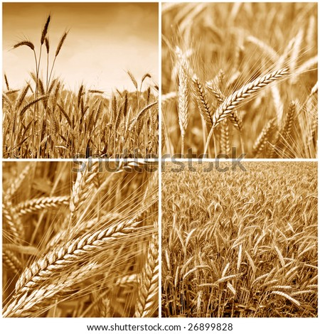 Gold wheat harvest collection background 01. Sepia version - stock photo