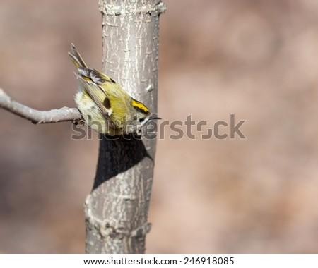 Goldcrest (Regulus regulus).Wild bird in a natural habitat. Timirjazevsky park, Moscow. Russia. - stock photo
