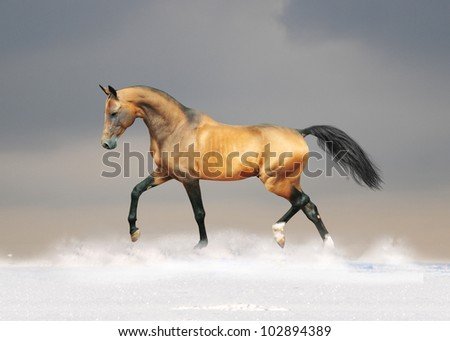 golden akhal-teke horse - stock photo
