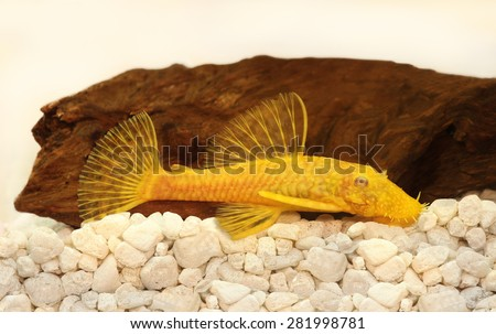 Golden ancistrus pleco catfish male albino bristle nose tropical