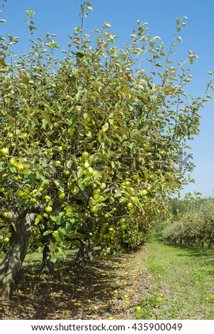 golden apples hanging on branch at orchard - stock photo