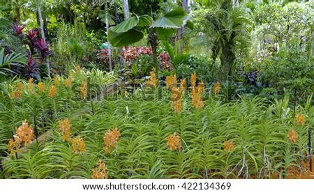 Golden Aranda orchids in a tropical setting - stock photo