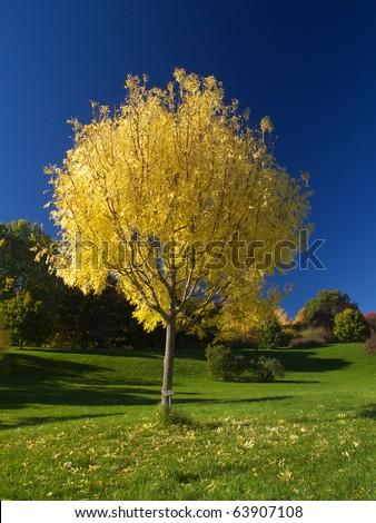 Golden ash tree in autumn - stock photo