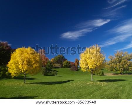 Golden ash trees in autumn - stock photo