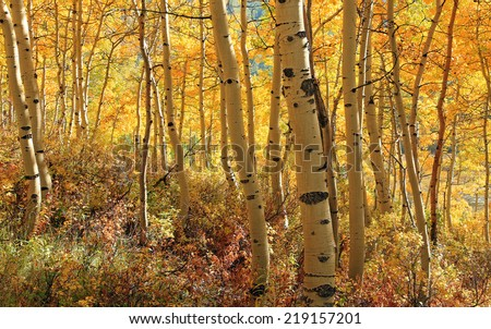 Golden aspen  forest in the Utah mountains, USA. - stock photo