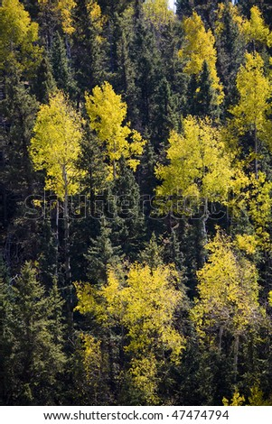 Golden Aspen on mountainside with green pines - stock photo