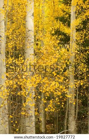 Golden aspen trees in the Colorado Rocky Mountains - stock photo
