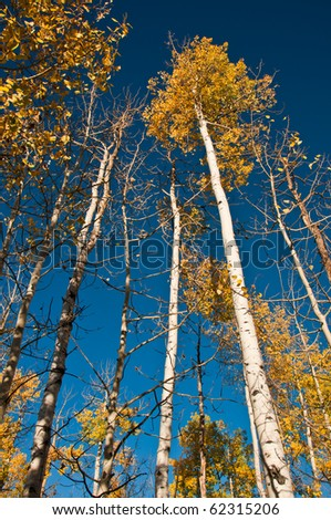 Golden Aspens - stock photo