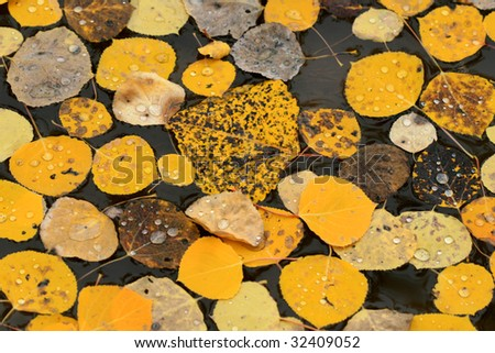 Golden autumn aspen leaves with raindrops in puddle of water - stock photo