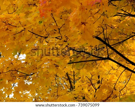 Golden autumn background of yellow maple leaves on a branch