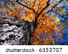 Golden autumn canopy of an old tall elm tree in sunny fall forest - stock photo