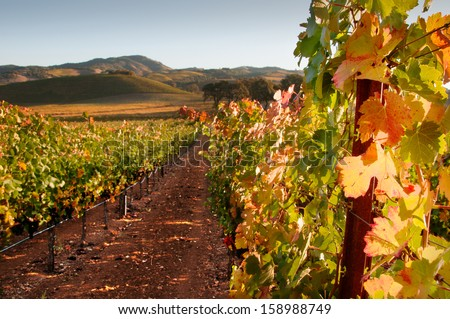 Golden Autumn in Vineyard - stock photo