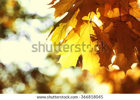 Golden autumn leaves, close up